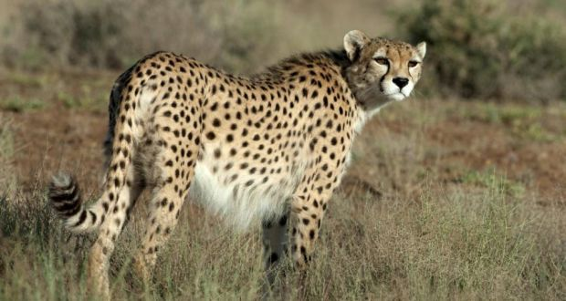 Iranian cheetah: Photograph: Houman Jowkar. The Asiatic cheetah is a subspecies that once roamed across much of Asia. Now, only 50 adults remain in the wild, in Iran. The director of Fota Wildlife Park in Cork, Sean McKeown, is lending his expertise to help this rare and distinctive animal.