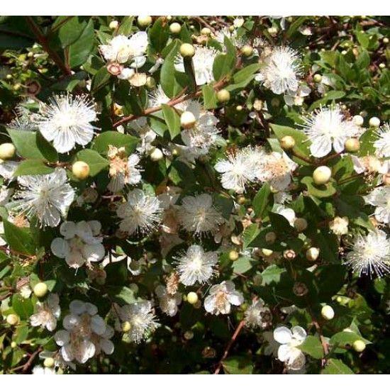 Myrtus Communis 20 Seeds Common Myrtle Myrtle Flower Flowering Trees Myrtle Essential Oil