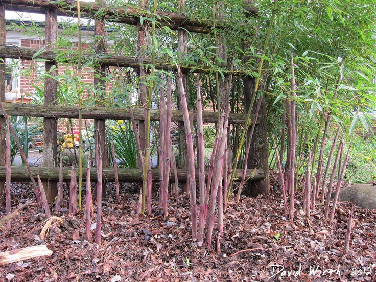 f98814561e186d30d05e3948cde80b9b bamboo tree how to grow