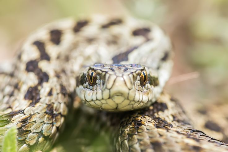 Mesmerized - Portrait of a Moldavian steppe viper (Vipera ursinii moldavica)