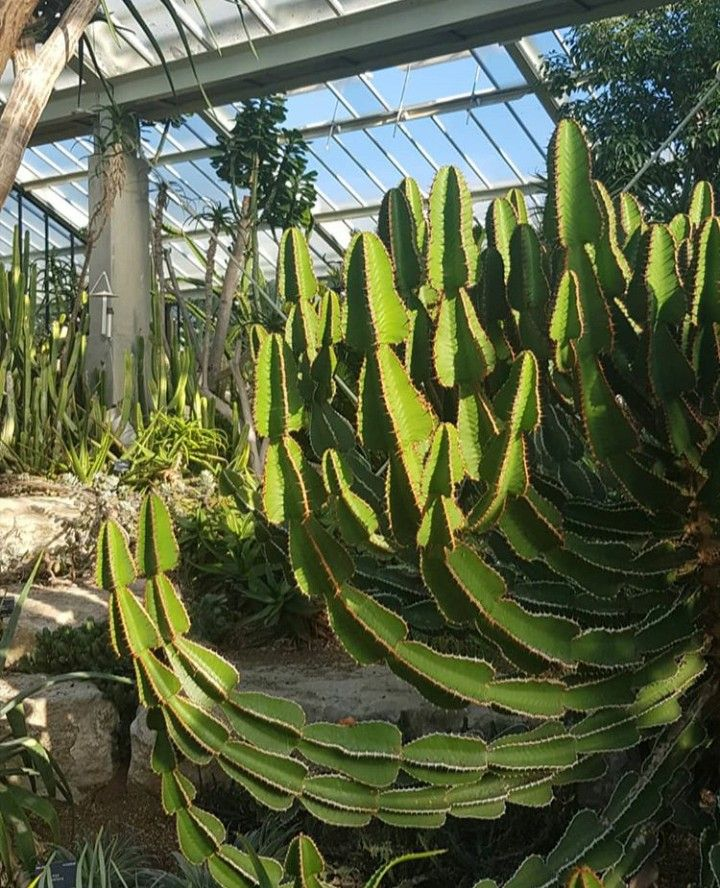 Euphorbia Cooperi Known As The Bushveld Candelabra Tree Easy To Propagate From Cuttings But Be Sure To Wear Gloves To Avoi Euphorbia Plant Leaves Succulents