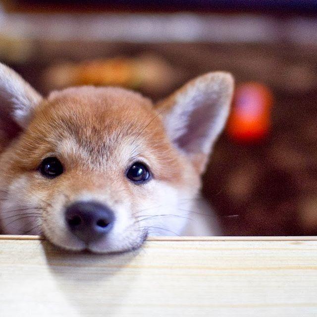#shibainupuppy #shibainu #dog #japanese #asian
