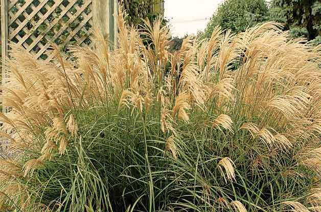 1000 images about grass garden on pinterest ornamental for Best tall grasses