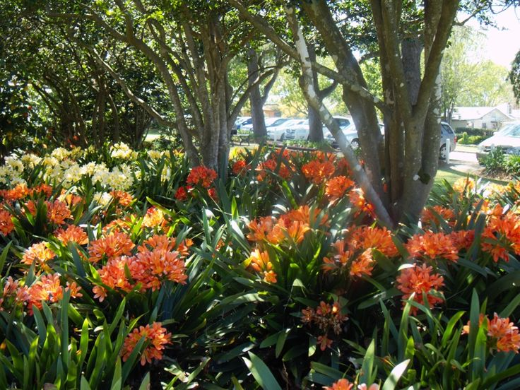 A small section of the mass planting of Clivias under the trees at Laurel Bank Park