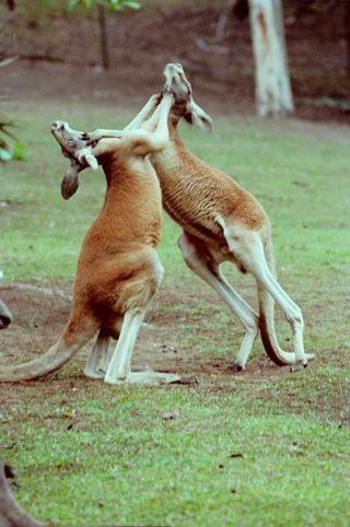 Australian Animals -  Australian Red Kangaroo