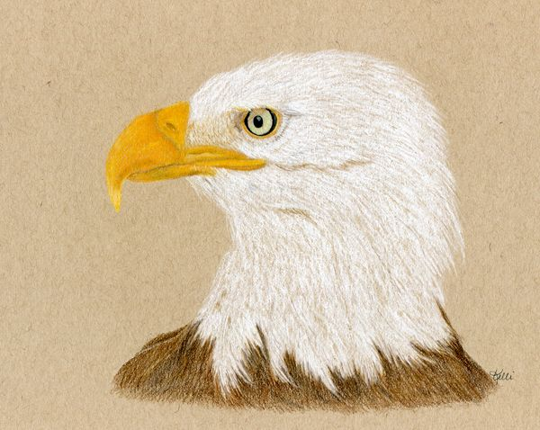 Eagle - colored pencil and pastel on tan toned paper