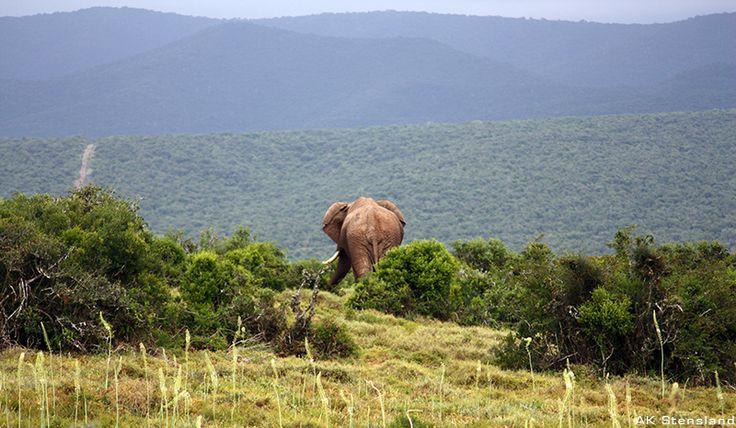 Foto: AK Stensland, Elefant i Addo National Elephant Park, Sør-Afrika
