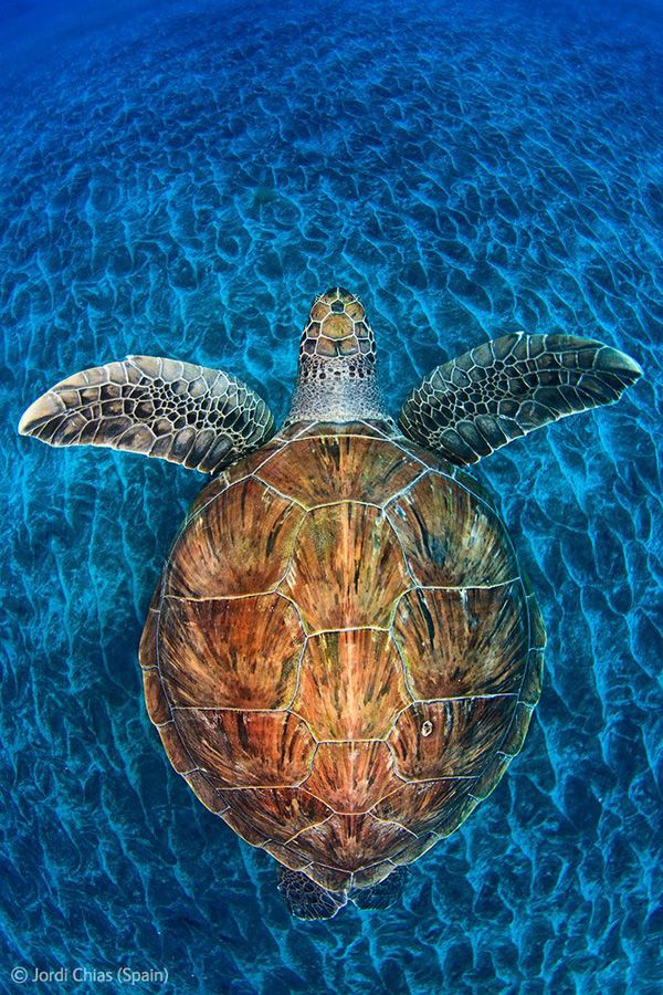 Sea Turtle by Jordi Chas. 2012 Competition Winners Wildlife Photography