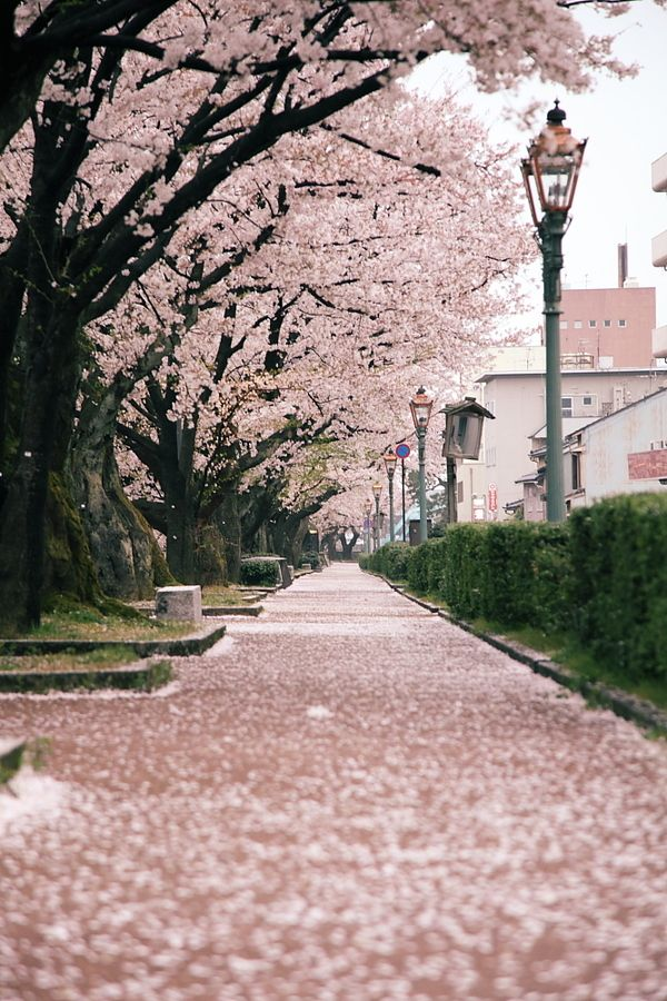 cherry blossoms carpet -sakura