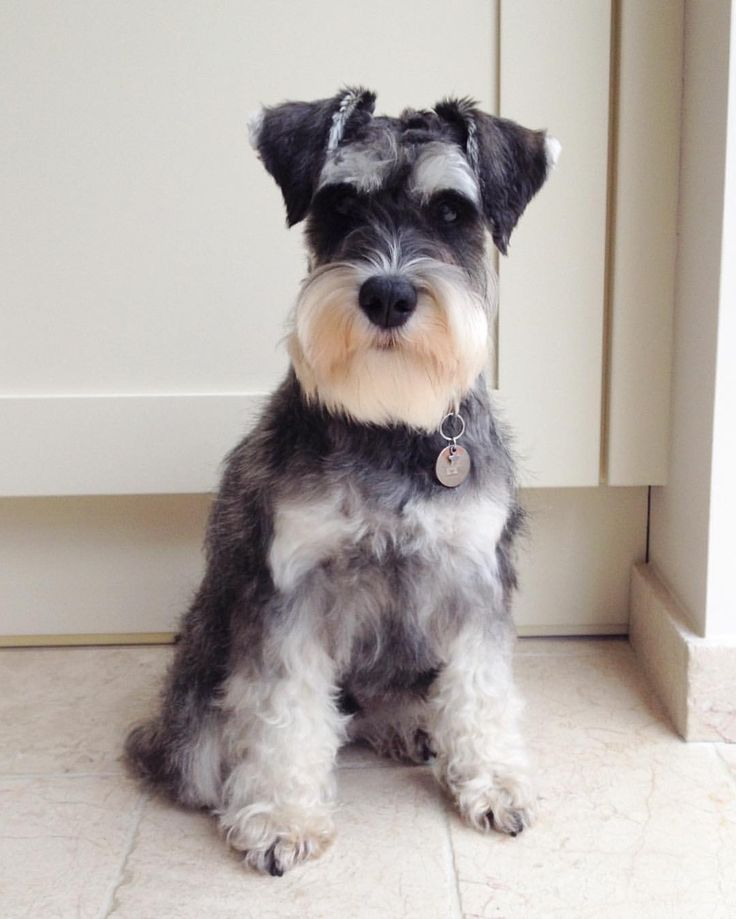 Pictures of schnauzer haircuts