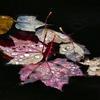 Fotografía de Michael Melford.Son hojas de arce y abedul.