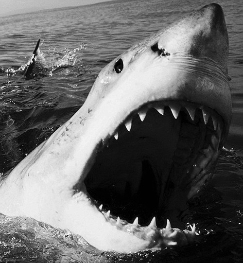 Great White Shark Carcharodon carcharias.  Amazing and unfathomable as it may be, sharks have occupied the earth approximately 171 million years BEFORE dinosaurs. I wonder how scientists figured THAT out?