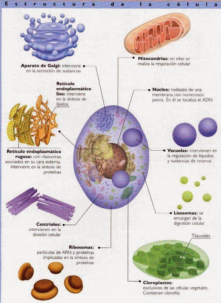 Biología Geología Organización Y Fisiología Celular