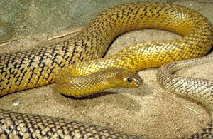 8. The Inland Taipan, also known as the 'fierce snake'. Found in Central Australia, a country that apparently houses every death mobile ever, the Taipan is without a doubt the worlds most poisonous snake. A single bite could kill 100 humans all in less than an hour. Fortunately the Taipan rarely attacks, only when physically disturbed. An anti-venom is abundant.