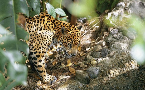Belize's 107,000-acre Mountain Pine Ridge Forest Reserve is home to exotic wildlife such as Cougars, Jaguars, Ocelots, Crocodiles, and many bird species.