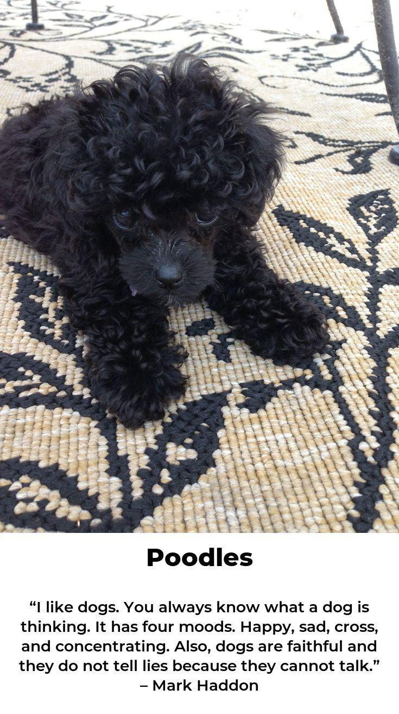 Poodles Poodlehouse Poodletime Dog Breeds Cute Dogs Dogs