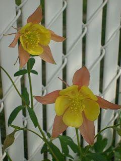 Le Jardin sous le Tilleul: Ancolie