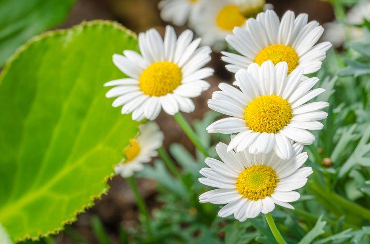Springtime - Close up of some Daisies