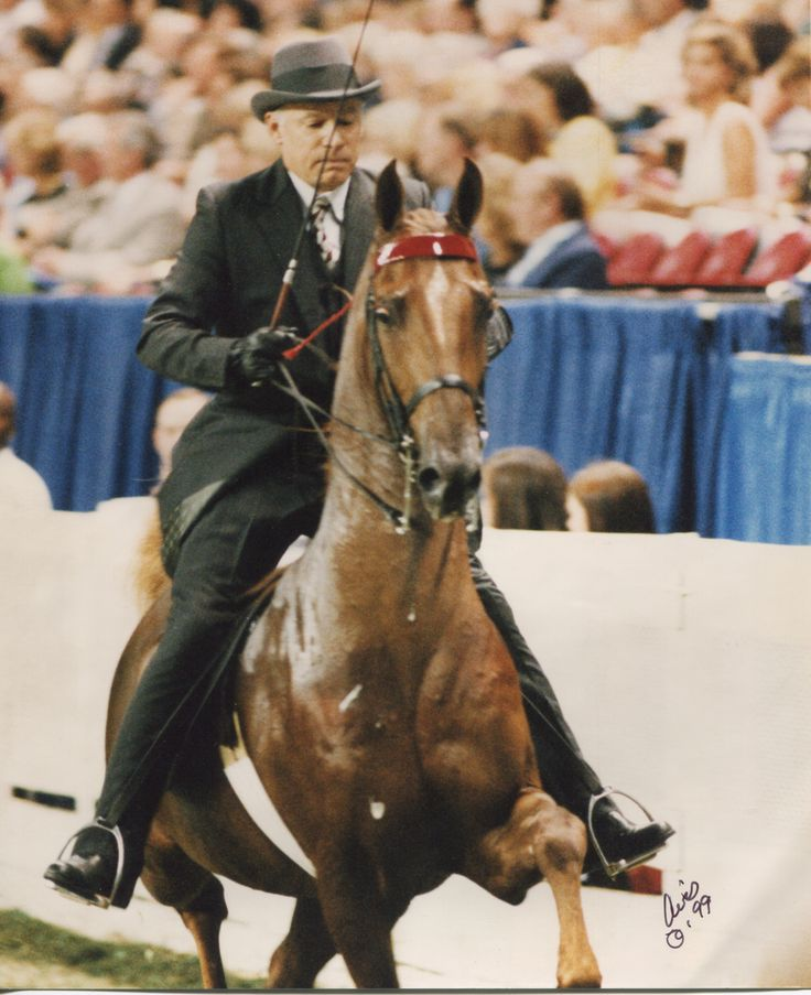 American Saddlebred Show Horses | Cherished King (CH The King Of Highpoint x Cherished Jewel by Lunar ...