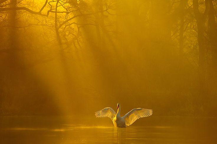Un cisne mudo que despliega sus alas en un lago bañado por la luz del sol de oro