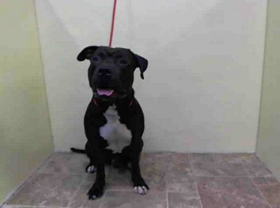 SAFE!  - Manhattan Center    SPIKE - A0996652    MALE, BLACK / WHITE, PIT BULL MIX, 3 yrs  STRAY - STRAY WAIT, NO HOLD  Reason ABANDON   Intake condition NONE Intake Date 04/14/2014, From NY 10457, DueOut Date 04/17/2014 https://www.facebook.com/Urgentdeathrowdogs/photos_stream