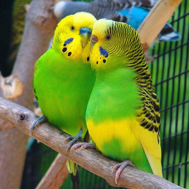 Male and female Budgarigar (Budgie) parakeets: Whisper Whisper