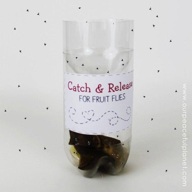 Best 25+ Fruit fly catcher ideas on Pinterest   Fruit fly traps ...