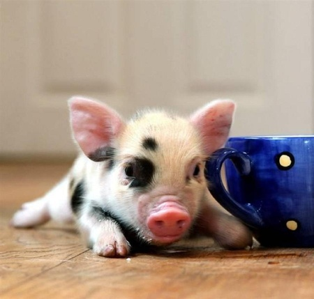 What an adorable tea cup piggy! - Pig
