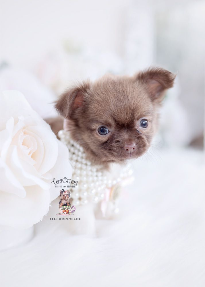 Long Haired Chihuahua Puppy For Sale Teacup Puppies 093 A Cuteteacuppuppies Long Haired Chihuahua Puppy For Sale Teacup Puppies 093 A Cuteteacuppuppies Long H In 2020