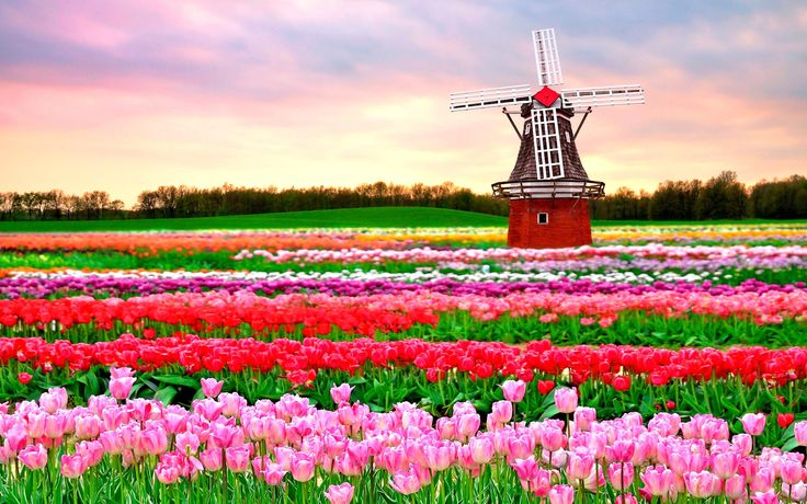 tulips_and_windmill_holland-1401297.jpg (2880×1800)