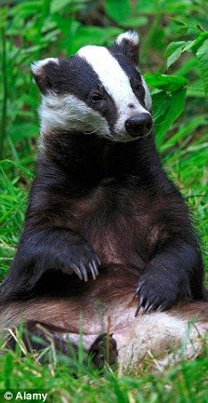 WISCONSIN State Animal - the Badger - a ferocious fighter with 4-inch long claws - Wisconsin's 'nickname' is The Badger State -  residents love, respect & admire Badgers, & keep their distance!
