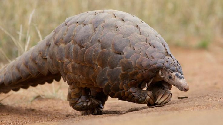 ~ With its armored shell and peculiar gait, the humble Pangolin looks more like an anteater prepped for medieval battle than an animal under threat. Illegal trade in South Asia, however, has now rendered the scaly mammals the most trafficked animal on earth, with some estimates claiming that sales now account for up to 20 per cent of the entire wildlife black market.