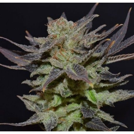 Auto Lavender de CBD Seeds