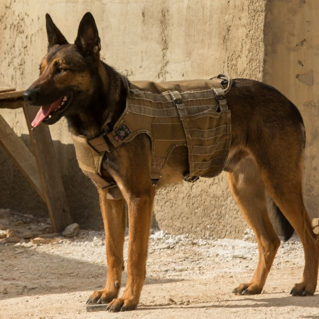 Five Belgian Malinois dogs were used to film the family adventure 'Max,' but Carlos had true star quality.