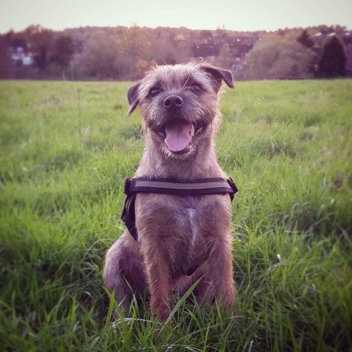 Happy Border Terrier ( Ratchet )!!