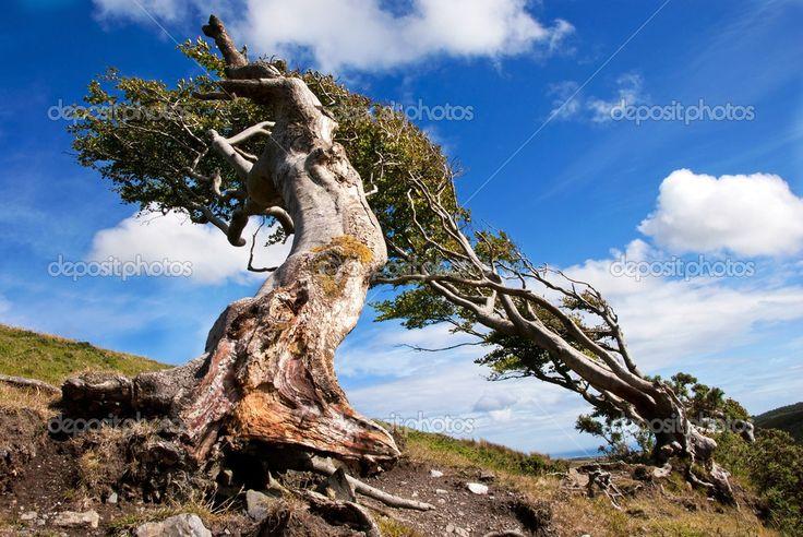 """Результат пошуку зображень за запитом """"старое дерево"""""""