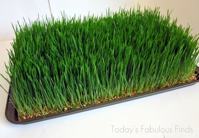 Wheat Grass Centerpieces (Grown on Paper Towels)