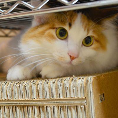 第9位 ミュウミュウ(別府温泉 新玉旅館)全国の宿・ホテルの看板猫