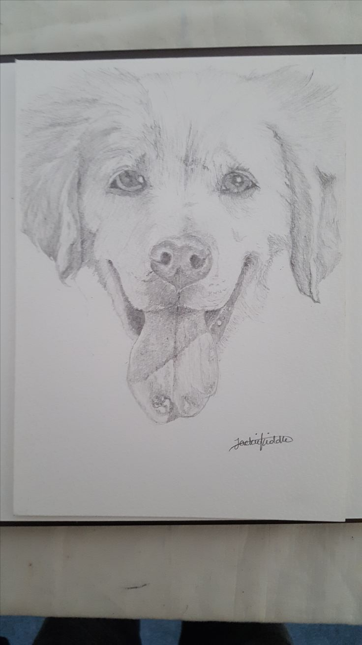 Bailey the Golden retriever drawing #2