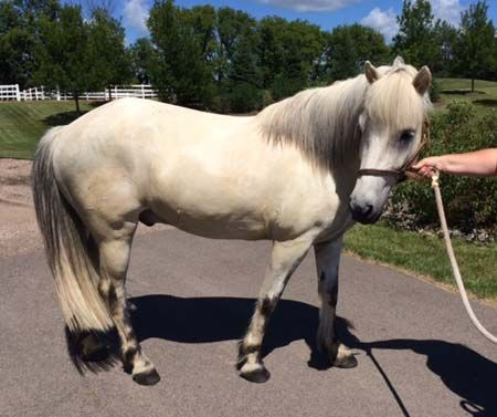 Grey Icelandic Gelding, Sweet Icelandic Horse for Sale in Minnesota. DreamHorse.com is the premier horse classifieds site with horses for sale, lease, adoption, and auction, breeding stallions, and more.