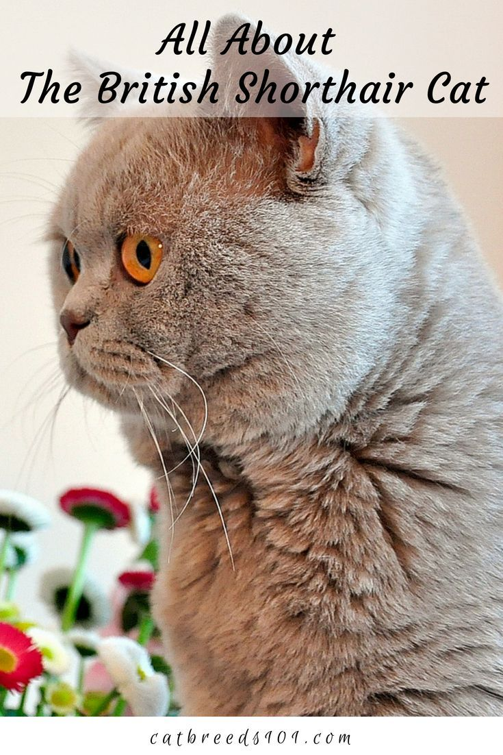 Bengal Cat Facts British Shorthair Physical Appearance The