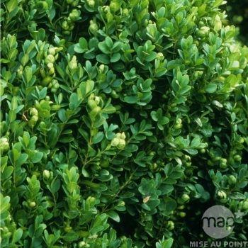 Buxus sempervirens ' Suffruticosa ' : godet 8 (avec images ...