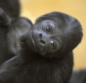 Gorilla baby - okay, she is going to grow up but still very sweet and can be seen in the Budapest Zoo at the City Park (just 10 minutes on foot from VLF and Citypark apartments and only a few stops with the M1 metro line from Bajcsy, and Broadways)