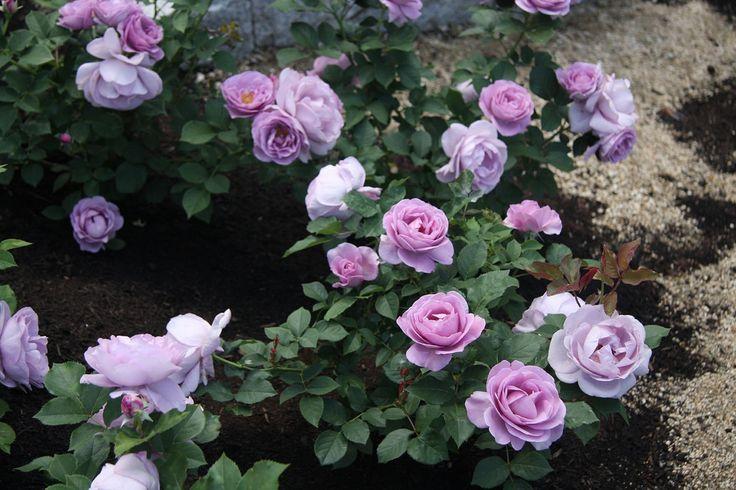 rose Shinoburedo - Tìm với Google