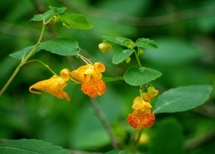 Jewelweed is a soothing herb that can be used to stop the spread of poison ivy.