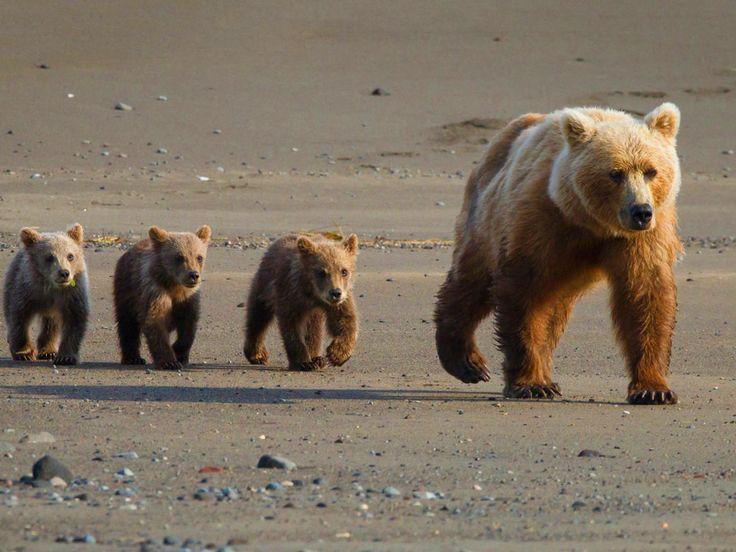 Cute Black Bear Cubs