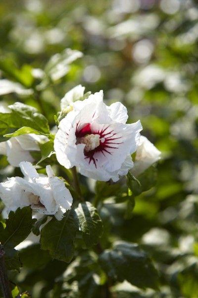 Hibiscus: #tuinplant van juli met prachtig bloemenhart. #tuin #woonblog #wonen