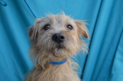 Lami - URGENT - Valley Oak SPCA in VISALIA, CA - ADOPT OR FOSTER - 2 year old Spayed Female Yorkshire Terrier Mix