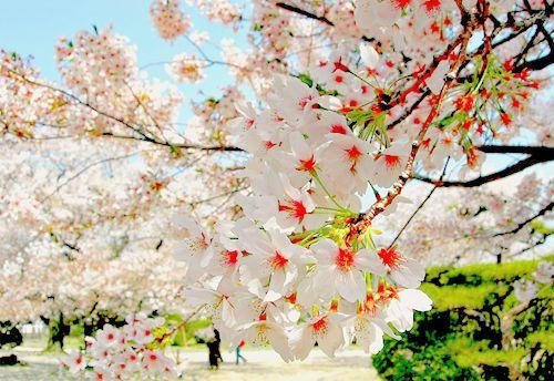 Cherry Blossoms, Sakura, Japan