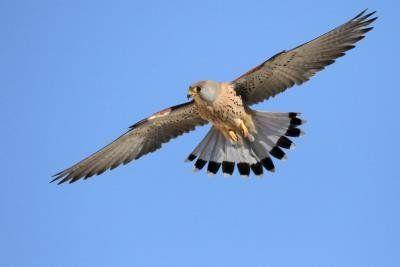 El viento y la temperatura determinan la estrategia de caza y de vuelo del cernícalo